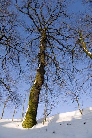 wintriness: oak tree at wintertime Stock Photo