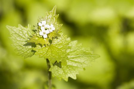 garlic mustard - flower head with seeds at spring time photo