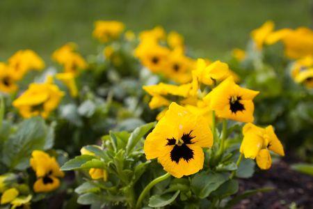 viola flowers in spring garden flower bed photo