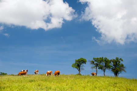Summer landscape with cows in Thuringia Stock Photo - 9101562