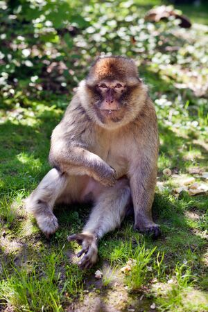 barbary ape: Portrait of a Barbary ape on the summer meadow