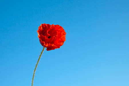 poppy seed flowering in front of blue sky photo