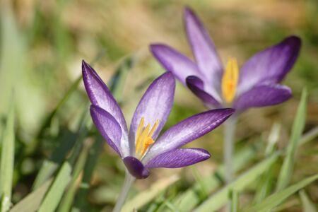 crocus flower petal bloom in garden at springtime Stock Photo - 9271097