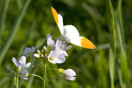 Orange Tip on a spring meadow photo