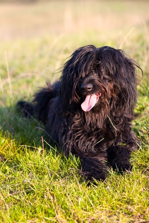 berger: Berger de Brie - black Briard in the meadow