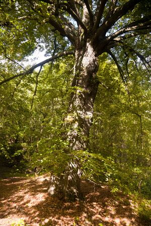 broad leaved tree: Summer forest   with broad leaved lime tree