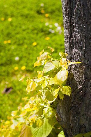 beech leaves photo