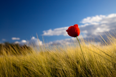 poppy seed flowering in front of blue sky Stock Photo - 18413194