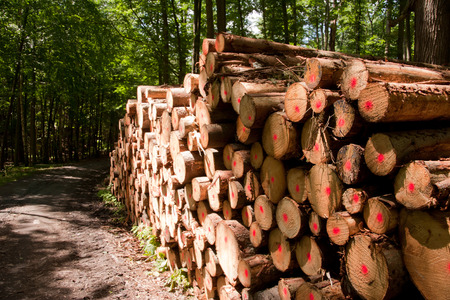 forest management: a stack of laminated wood of coniferous trees in a Forest Landscape