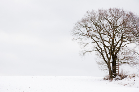 singly: an oak tree used as a Hunting stand in a winter landscape