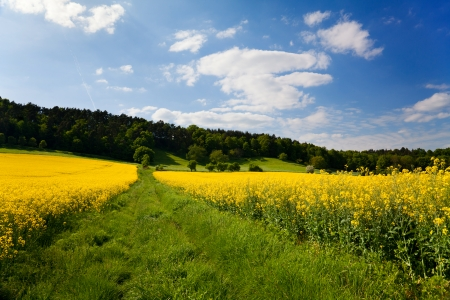 yellow rape field in front of blue summer sky photo