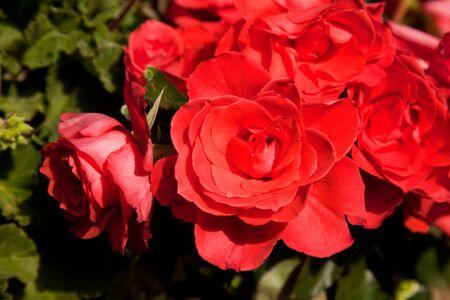 rosids: Geranium in garden landscape at springtime Stock Photo