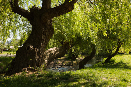 weeping willow: a weeping willow in Jena Paradies park at the site where the Leutra flows into the Saale