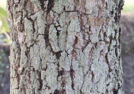lichen: Tree bark with moss and lichen texture.