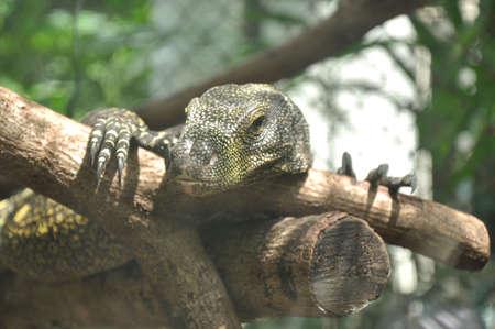 varanus: Varanus bengalesis Stock Photo