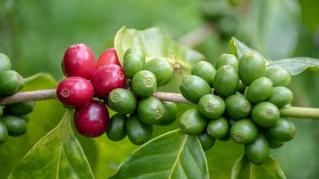 raw Coffee arabica  on the tree