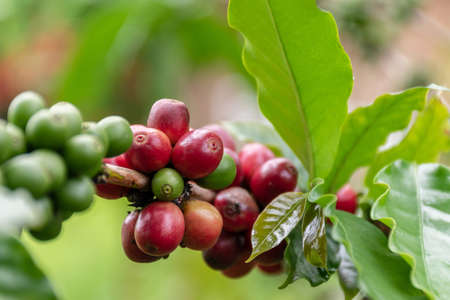 raw Coffee arabica on the tree
