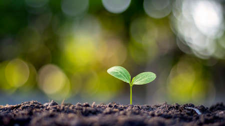 The sapling is growing from fertile soil, including the evolution of plant growth and the soft sunlight in the morning. The concept of ecology and agriculture.