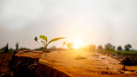 The saplings sprouting on the cut stump, including the rising sun, the concept of plant growth and the new beginning of the plant. Stock Photo