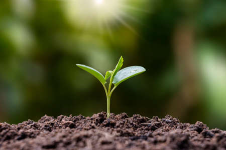 Seedlings grow from fertile soil and the morning sun shines, concept of plant growth and ecological balance. Zdjęcie Seryjne