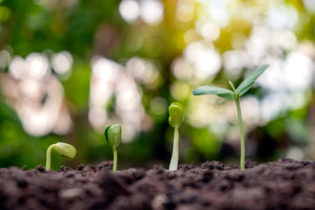 Sapling growing on soil and green nature bokeh background. Plant growth progression concept. Ecology and new life growth Zdjęcie Seryjne