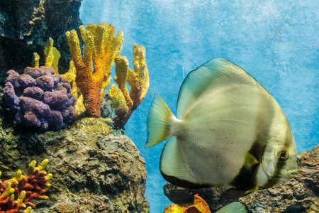 platax: Orbicular batfish in an aquarium.