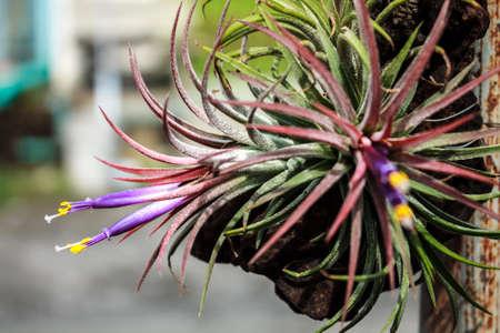tillandsia: Tillandsia, Tropical  flower, Thailand
