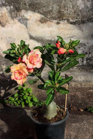 adenium: Tropical flower  Desert rose (Adenium) Stock Photo