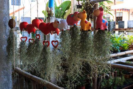 tillandsia: Tillandsia, Tillansia usneoides in garden