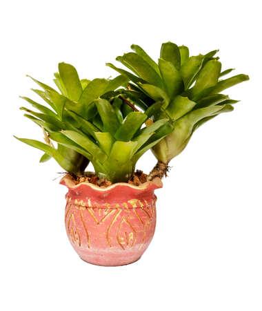neoregelia: Neoregelia in pots on White background and isolated