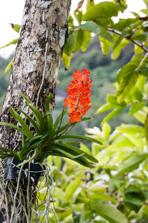 olant: Red Ascocentrum curvifolium orchid