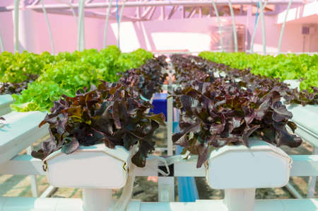 hydroponic: Hydroponic Lettuce Vegetable