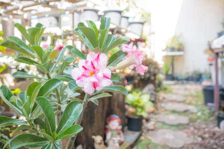 desert rose: Tropical pink flower Desert rose (Adenium) Stock Photo