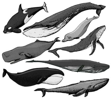 whaling: Set of hand drawn whales include blue whale, finback, orca, killwhale, humpback, sperm whale, bowhead