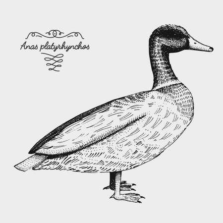 hand drawn vector realistic bird, sketch graphic style, domestic duck, anas platyrhynchos, canard, mallard Illustration