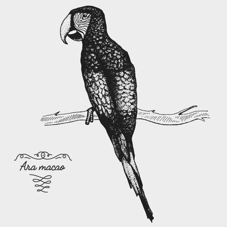 hand drawn vector realistic bird, sketch graphic style, ara macao parrot