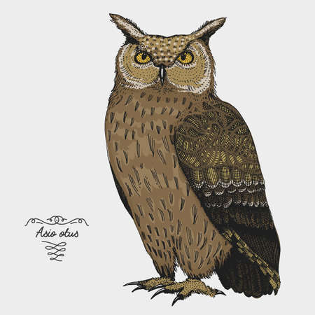 hand drawn vector realistic bird, sketch graphic style,long eared owl, asis otus Illustration