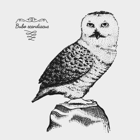 hand drawn vector realistic bird, sketch graphic style, bubo scandiacus, white owl