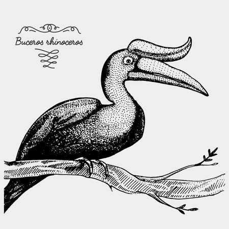 hand drawn vector realistic bird, sketch graphic style, buceros rhinoceros, rhinoceros hornbill Illustration