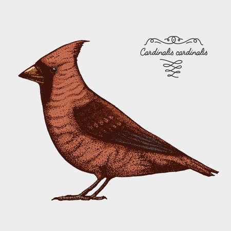 hand drawn vector realistic bird, sketch graphic style,red cardinal, cardinalis ,