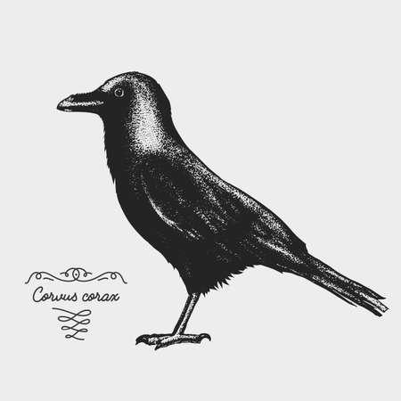 hand drawn vector realistic bird, sketch graphic style, corvus corax, raven,