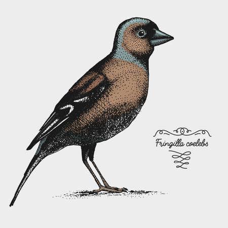 hand drawn vector realistic bird, sketch graphic style, fringilla coelebs , common chaffinch