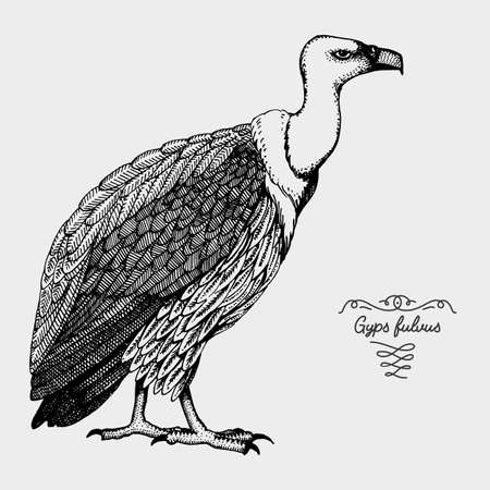 hand drawn vector realistic bird, sketch graphic style, gyps fulvus, griffon vultures