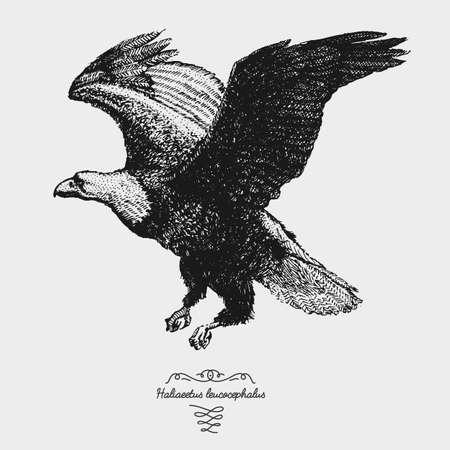 leucocephalus: hand drawn vector realistic bird, sketch graphic style, bald eagle, haliaeetus leucocephalus