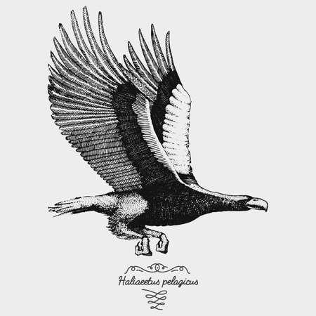 hand drawn vector realistic bird, sketch graphic style, haliaeetus pelagicus, stellers sea eagle Illustration