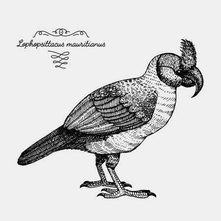 hand drawn vector realistic bird, sketch graphic style, extinct species lophopsittacus mauritianus , broad-billed parrot