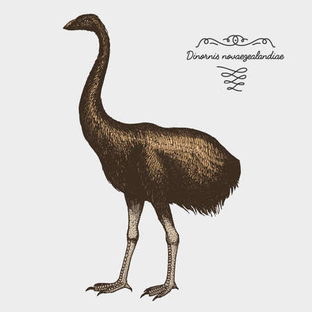 hand drawn vector realistic bird, sketch graphic style, moa bird, dinornis novaezelandiae extinct species Illustration