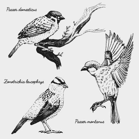 hand drawn vector realistic bird, sketch graphic style, white crowned sparrow, passer domesticus, sparrow, Illustration