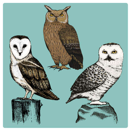 set of 3 owl hand drawn vector realistic bird, sketch graphic style, barn owl, long-eared owl, white owl, Illustration