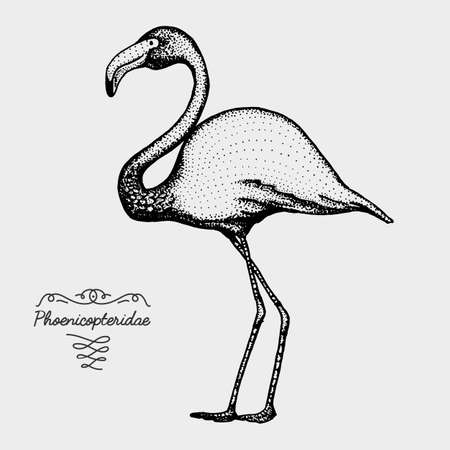 hand drawn vector realistic bird, sketch graphic style, pink flamingo, phoenicopteridae,